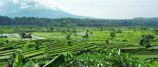 rice fields Bali nature