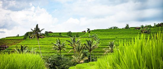 nature rice fields Bali sunshine